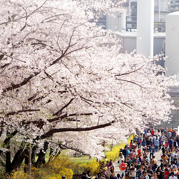 지역 주민들과 함께한 2017 SK인천석유화학 벚꽃 Festival